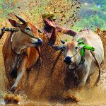Indonesia , Races, Makepung