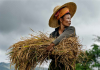 A woman working in a paddy field, in Shan State, Myanmar